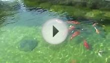 Clear Water Koi Pond